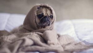 собака упала в обморок