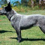 короткохвостая пастушья собака