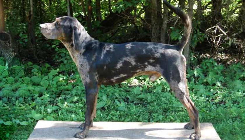 Американская леопардовая собака