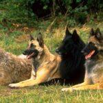 Бельгийские овчарки