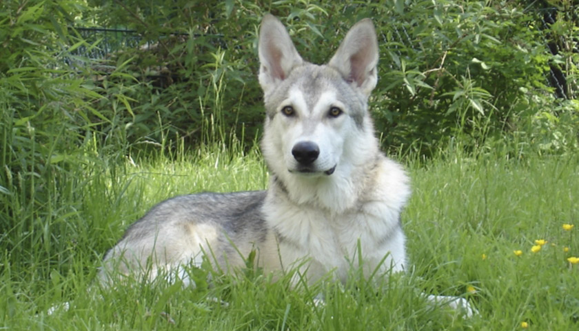 Волчья собака Саарлоса